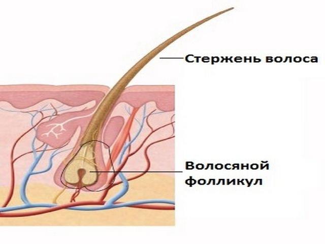 Строение волосяного фолликула и стержня волоса на белом фоне